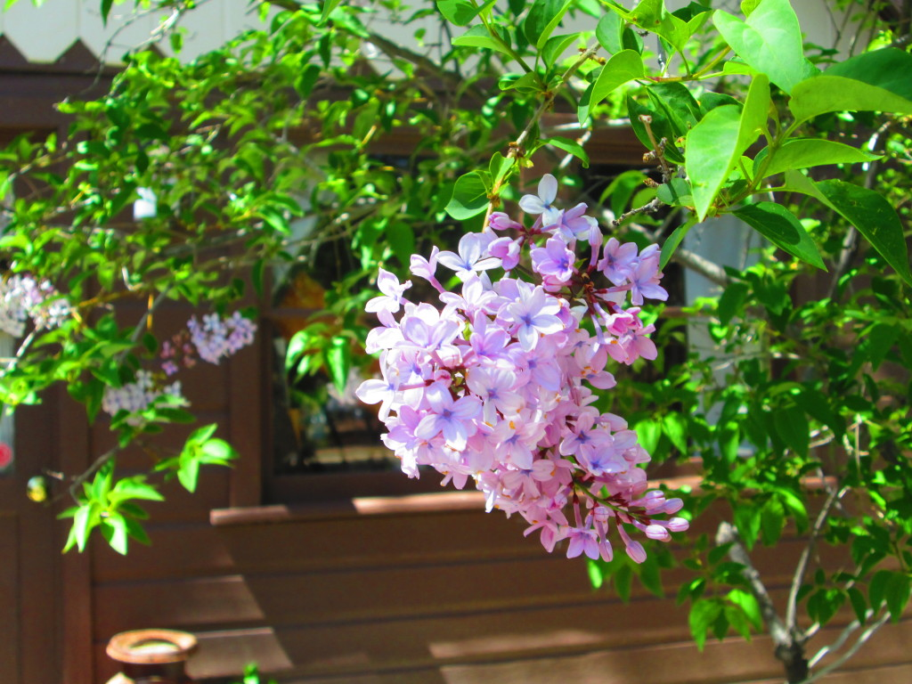 Taking time to reflect while admiring the lilacs.